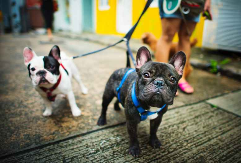 Frenchies on leash